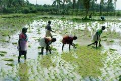 Árboles jóvenes de trasplante del arroz Fotografía de archivo libre de regalías