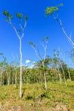 Árboles jóvenes del árbol de Mahogony Fotografía de archivo libre de regalías