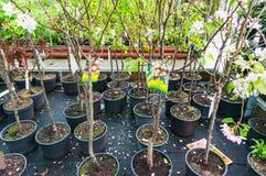 Árboles jóvenes del árbol para la venta Fotografía de archivo