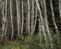 Árboles jóvenes del abedul de plata Imagenes de archivo