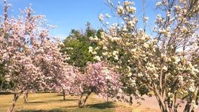 Árboles japoneses de la flor de cerezo almacen de metraje de vídeo