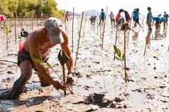 Árboles jovenes del mangle de la planta voluntaria en los pantanos Saphan próximo fotografía de archivo libre de regalías