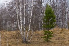 Árboles jovenes del pino y de abedul en primavera temprana Fotos de archivo