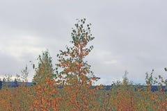 Árboles jovenes en bosque del otoño Fotos de archivo