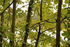 Árboles jovenes y las hojas fotografía de archivo libre de regalías