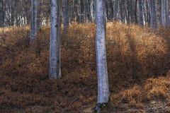 Árboles jovenes y viejos en un bosque de la haya Fotos de archivo