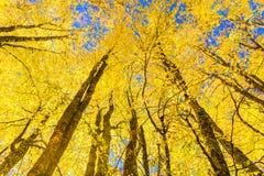 Árboles largos bajo visión en el otoño para el fondo Fotografía de archivo libre de regalías