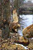 Árboles masticados por los castores Fotos de archivo libres de regalías