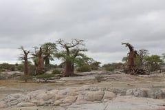 Árboles miniatura del baobab Imágenes de archivo libres de regalías