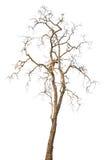 Árboles muertos aislados Fotos de archivo libres de regalías