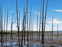 Árboles muertos cerca de los géiseres de Yellowstone Fotos de archivo