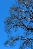 Árboles muertos de la ramificación en los cielos azules imagenes de archivo