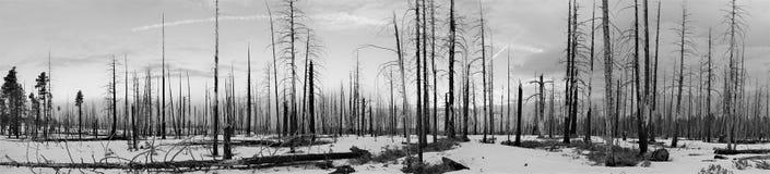Árboles muertos del panorama después del incendio forestal imágenes de archivo libres de regalías