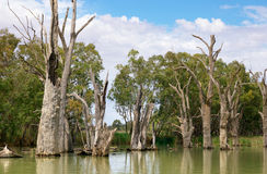 Árboles muertos del río en el murray Imagen de archivo