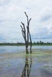 Árboles muertos derechos que murieron en el río Foto de archivo libre de regalías
