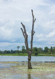 Árboles muertos derechos que murieron en el río Fotografía de archivo libre de regalías