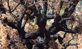 Árboles muertos después del incendio forestal Imágenes de archivo libres de regalías