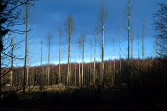 Árboles muertos en bosque con el cielo azul Fotos de archivo libres de regalías