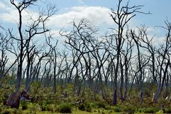 Árboles muertos en el cabo Otway Imagenes de archivo