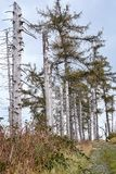 Árboles muertos en el Harz Foto de archivo