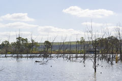 Árboles muertos en el marido joven, Murray River, sur de Australia Fotos de archivo