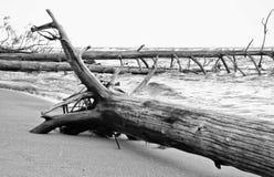 Árboles muertos en la playa en Letonia 2 Fotografía de archivo