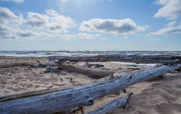 Árboles muertos en la playa soleada salvaje Imágenes de archivo libres de regalías