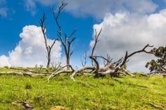 Árboles muertos en NSW, Australia Fotografía de archivo libre de regalías