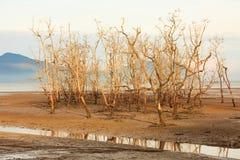 Árboles muertos en playa durante la bajamar Imagen de archivo libre de regalías