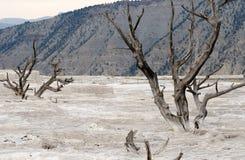 Árboles muertos en Yellowstone Imagenes de archivo