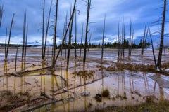 Árboles muertos en Yellowstone Fotografía de archivo libre de regalías