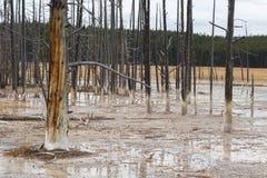 Árboles muertos en Yellowstone Foto de archivo libre de regalías