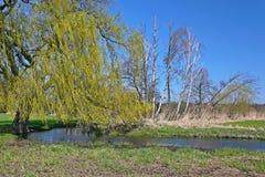 Árboles muertos y verde fresco en un bosque ripícola Foto de archivo libre de regalías