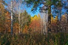 Árboles multicolores en bosque en el otoño Fotos de archivo libres de regalías