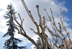 Árboles mutilados Fotografía de archivo