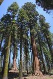Árboles nacionales del parque de la secoya Fotos de archivo libres de regalías