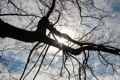 Árboles negros debajo del cielo azul Imagen de archivo