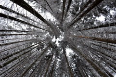 Árboles Nevado Fotografía de archivo libre de regalías