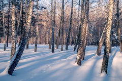Árboles Nevado en el bosque del invierno Imagen de archivo