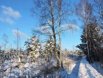 Árboles Nevado en el pantano, Lituania Imágenes de archivo libres de regalías