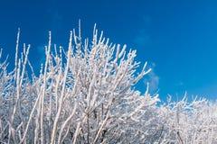 Árboles Nevado sobre el cielo azul Imagen de archivo libre de regalías