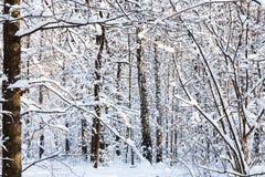 árboles nevados del abedul y de pino en día soleado Fotografía de archivo libre de regalías
