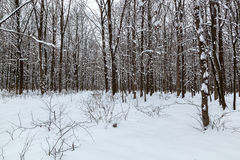 Árboles nevados en el bosque del invierno Fotografía de archivo