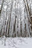 Árboles nevados en el bosque del invierno Foto de archivo libre de regalías