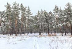 Árboles nevados en el bosque del invierno Imagen de archivo libre de regalías