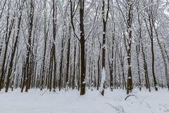 Árboles nevados en el bosque del invierno Foto de archivo
