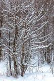 Árboles nevados en el bosque del invierno Imagen de archivo
