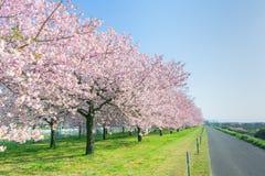 Árboles o Sakura hermosos de la flor de cerezo que florecen al lado del cou fotografía de archivo libre de regalías