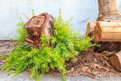 Árboles que crecen de árboles cortados, poder de la vida Foto de archivo