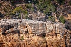 Árboles que crecen encima de la roca en Grand Canyon Fotos de archivo